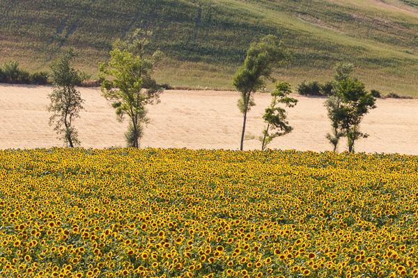 Toskana - Landschaften - Sonnenblumenfelder
