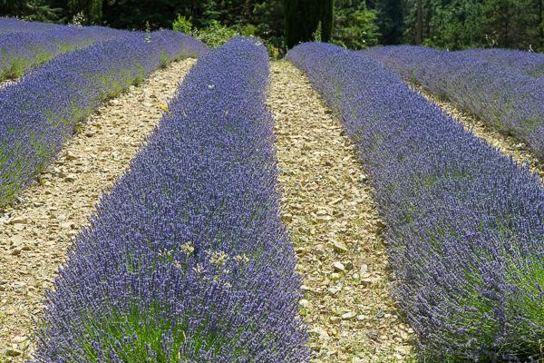 Toskana - Landschaften - Lavendelfelder